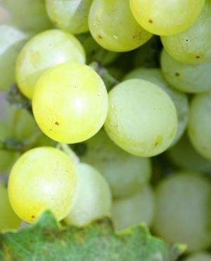 Σαββατιανό Λευκό Ξηρό Κρασί Μεσογείων