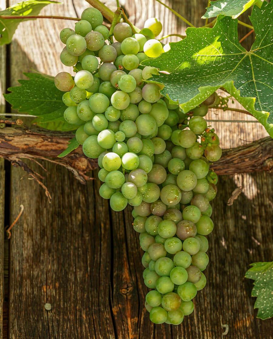 Τσαούσι Κεφαλληνίας Κρασί Λευκό Ξηρό
