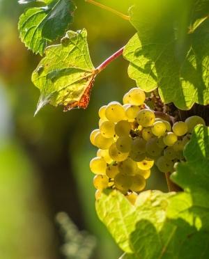 Μπεγλέρι Βιολογικό Λευκό Κρασί Ικαρίας