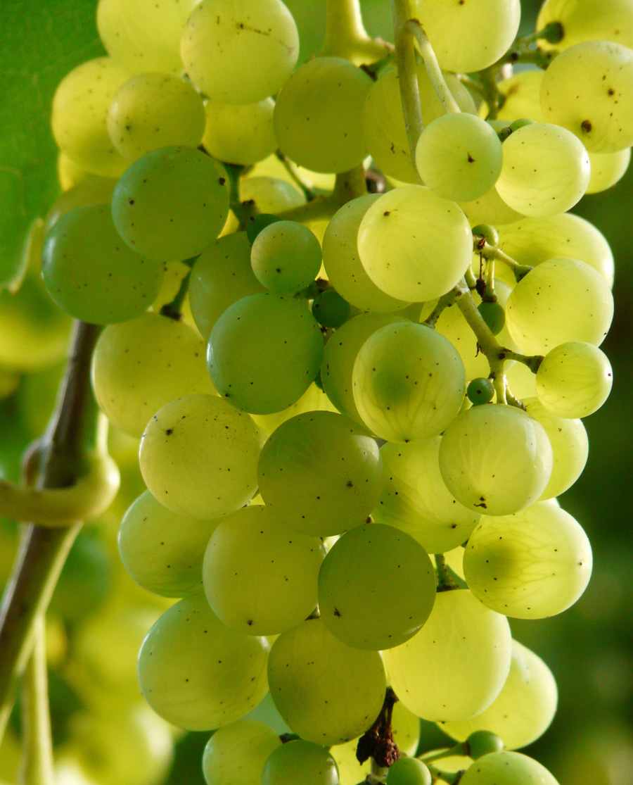Βηλάνα Θραψαθήρι Λευκό Ξηρό Κρασί Κρήτης