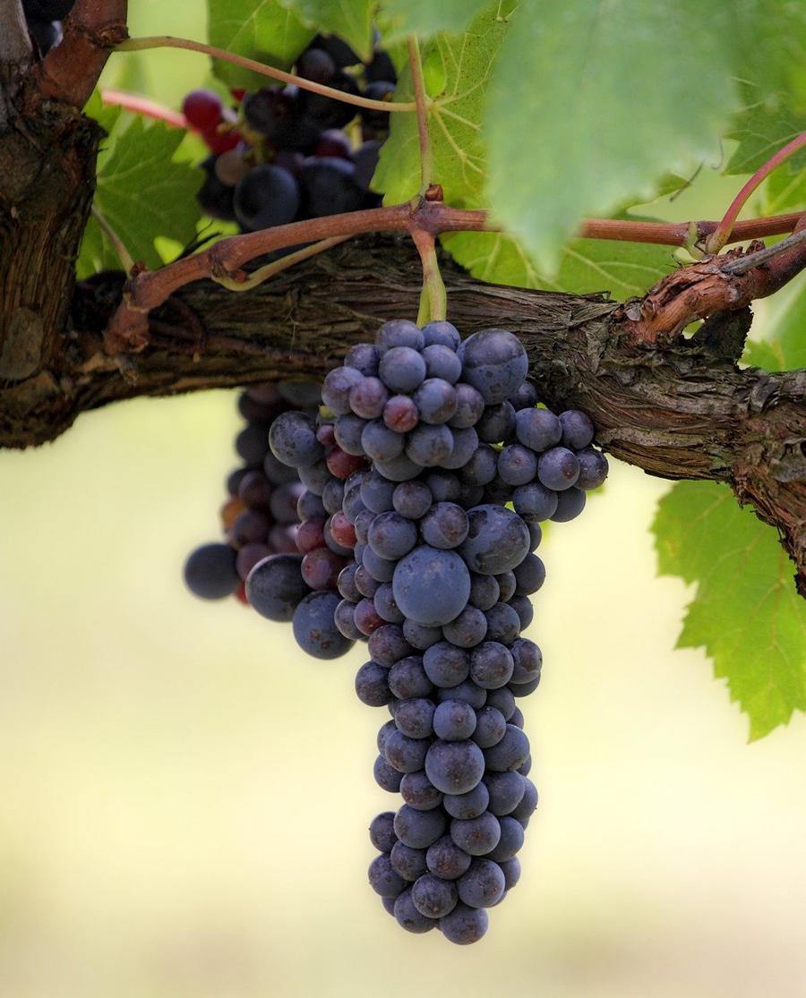 Μαυροδάφνη Κόκκινο Ξηρό Κρασί