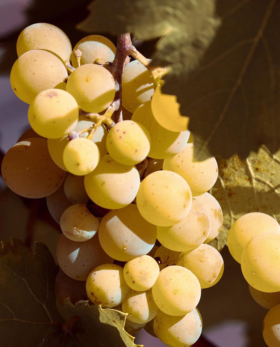 Μοσχάτο Γλυκό Λευκό Κρασί Αχαΐας