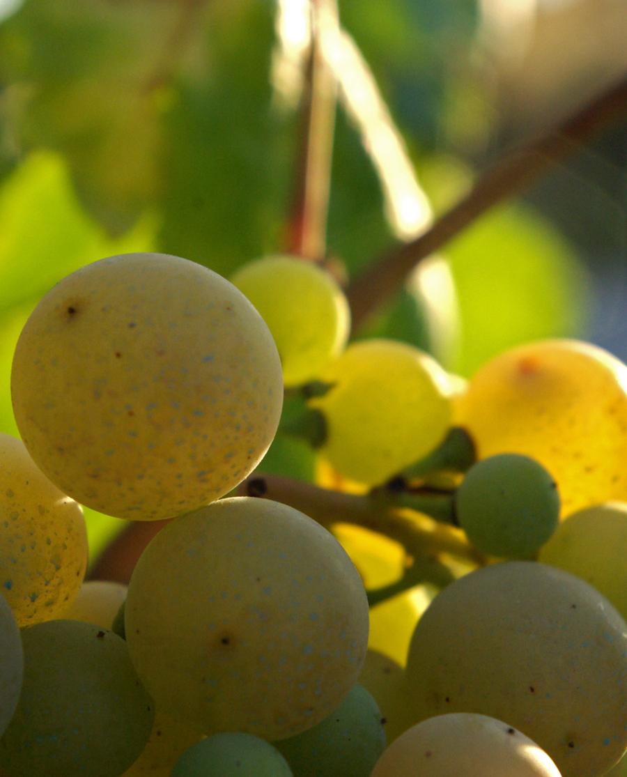 Μοσχάτο Chardonnay Βιολογικό Λευκό Κρασί Τυρνάβου